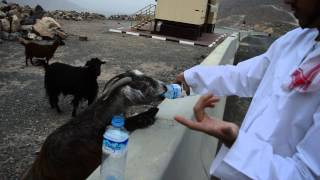Video MOUNTAIN GOAT WAS THIRSTY download MP3, 3GP, MP4, WEBM, AVI, FLV Juli 2018