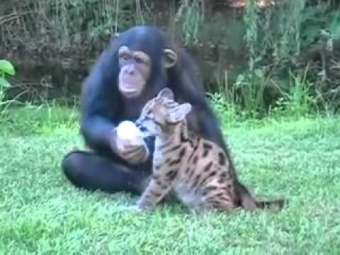 Chimpanzee and Puma Playing Together