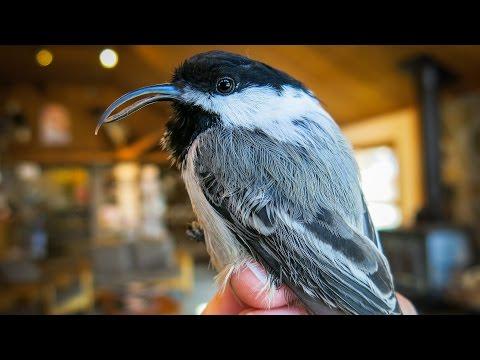 Beak deformities in black-capped chickadees
