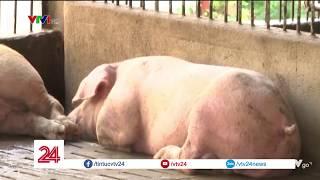 Tiêu điểm: Nguyên nhân nào khiến dịch tả lợn Châu Phi lây lan ra nhiều quốc gia? | VTV24