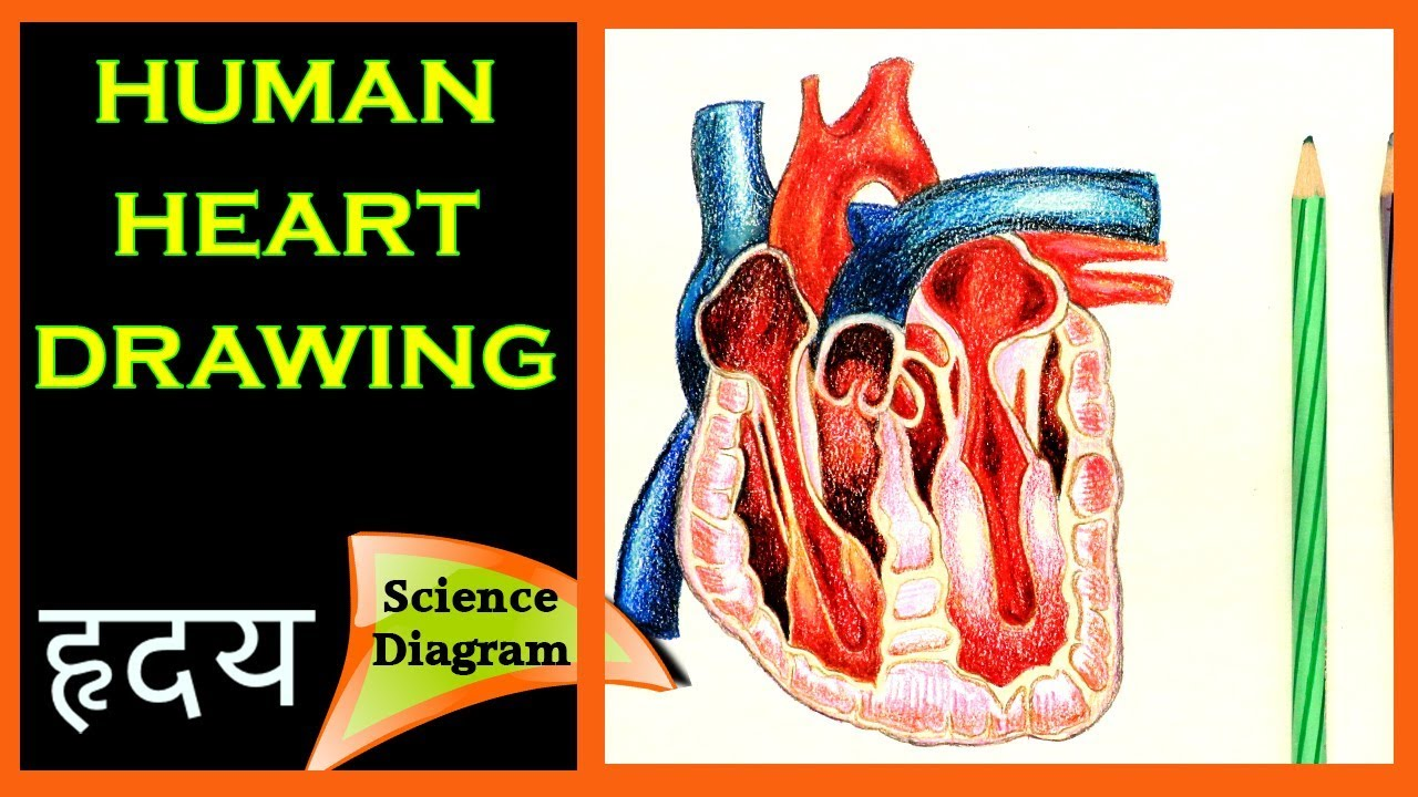 How to draw the human Heart    The human Heart Easy Draw ...