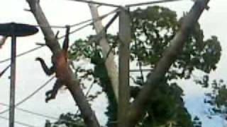 Sumatran Orangutan Swinging Outdoors