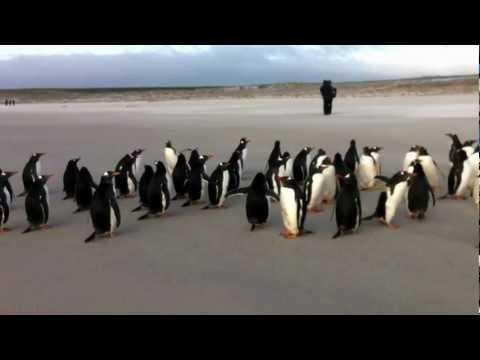 Penguins at Volunteer Point, Falkland Islands. I