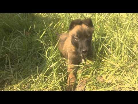 Top Belgian Malinois Puppy 7 Week Old (Harvey)