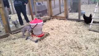 Summit X Seneca's Weimaraner Pups Meet And Greet Bob
