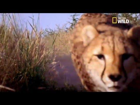le guépard l'animal le plus rapide sur terre