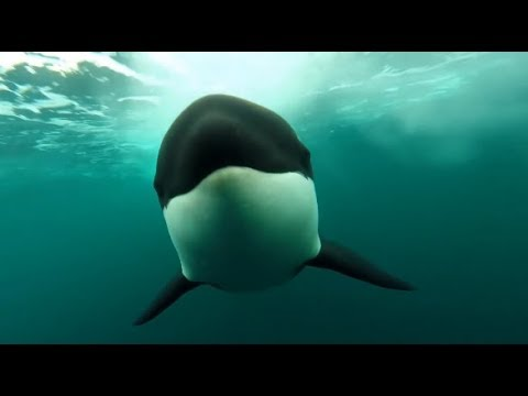 [10 Hours] Orca Killer Whales Chasing - Video & Whalesong [1080HD] SlowTV