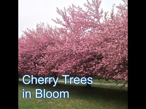 Fruiting Cherry vs Flowering Cherry Tree