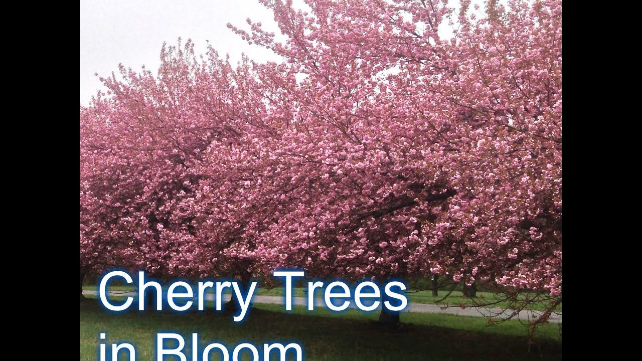 Fruiting Cherry Vs Flowering Cherry Tree Youtube