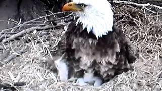 Decorah, Iowa (USA) Eagles - Dad teaching Eaglets to Be Aware