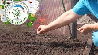 Выращивание салата в теплице осенью. Посев семян салата.