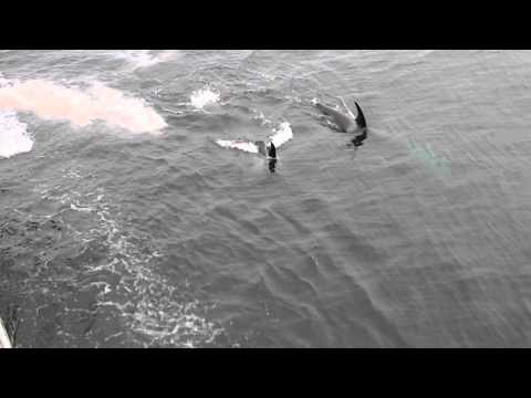 Killer Whales Following Bering Sea Fishing Vessel