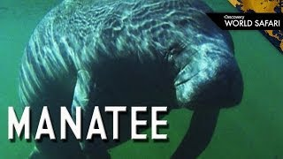 Why Do Manatees Live Near Power Plants?