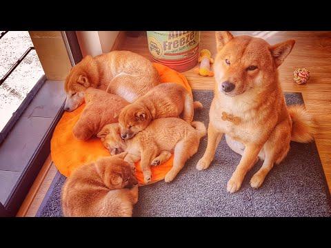 Daddo protecc - MLIP / Ep 143 / Shiba Inu puppies