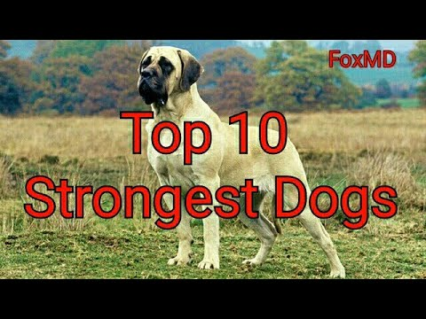 Top 10 Strongest Dogs | Powerful Dog Breeds