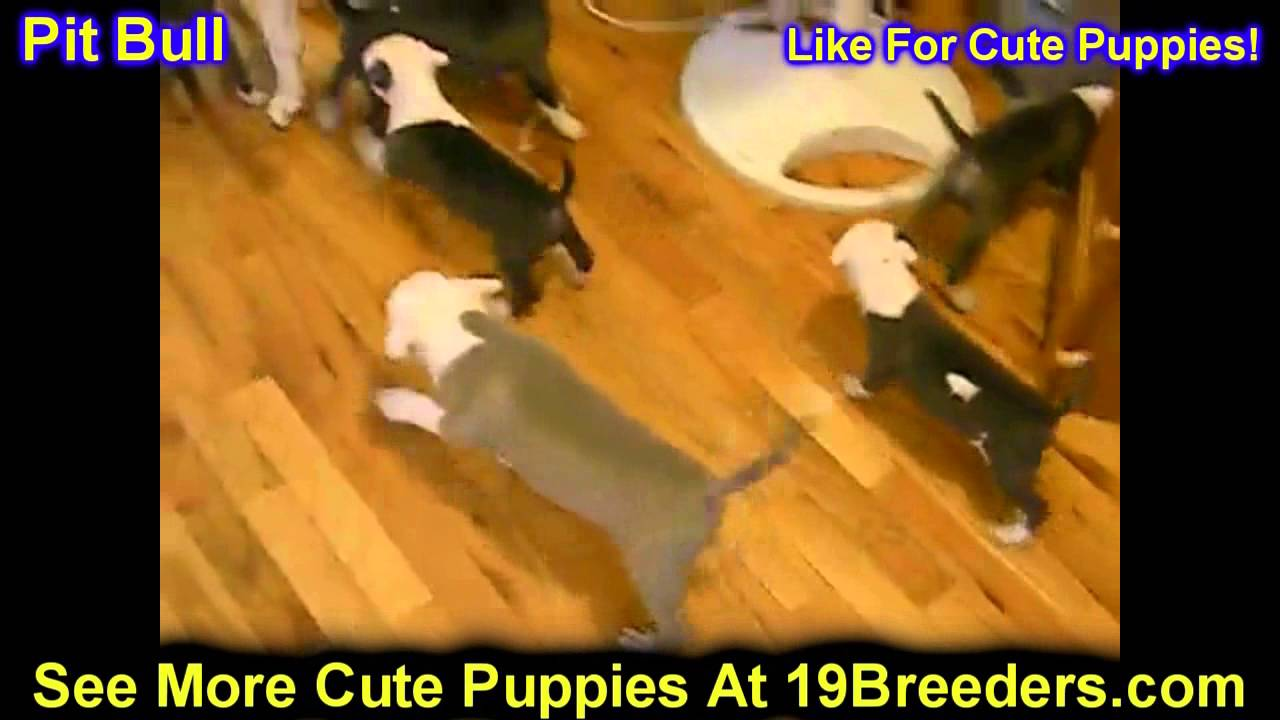 Pitbull Puppies For Sale In Green Bay Wisconsin Wi Eau