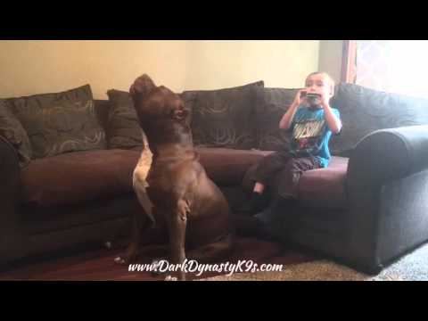 World famous giant family Pitbull  HULK howling with 4 year old Jordan again!!