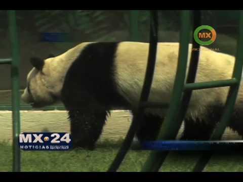 Los osos panda en el Zoo de Chapultepec
