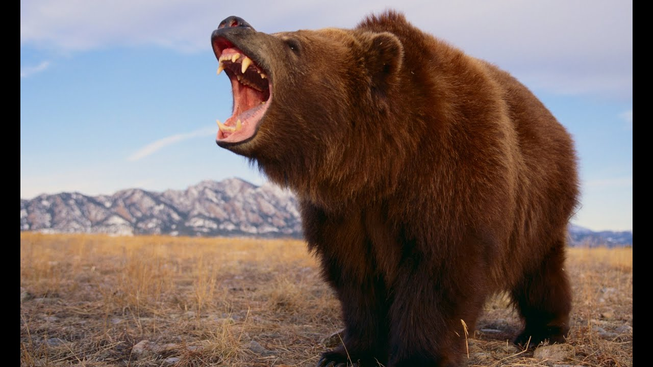 the background information of the grizzly bears found in the united states Black bears, grizzly (brown) bears and polar bears faq | about us north america's bears and in 40 of the 50 united states.