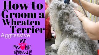How to Groom a Wheaten Terrier Matted