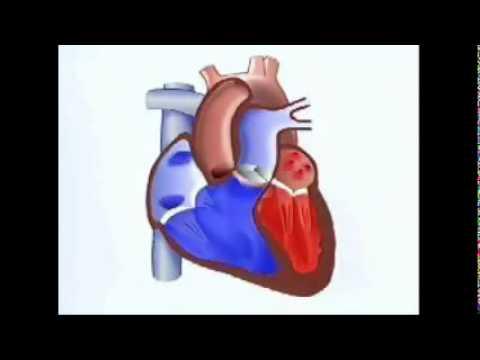 Cómo funciona el corazón - YouTube