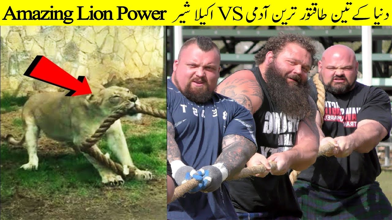 Unbelievable Lion Power In Tug Of War With Humans  II Strongest Men In The World Vs Animal Power