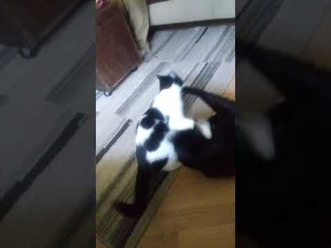2 cats fighting