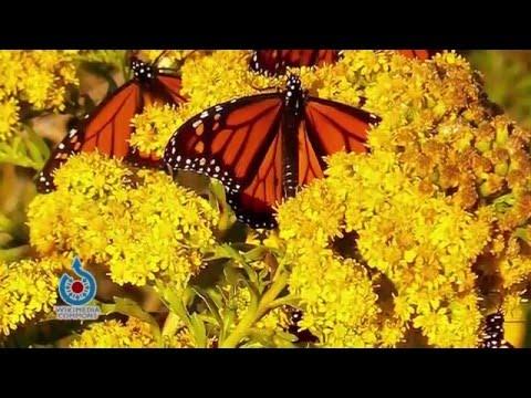 Prairie Yard & Garden: Monarchs and the Plants They Love
