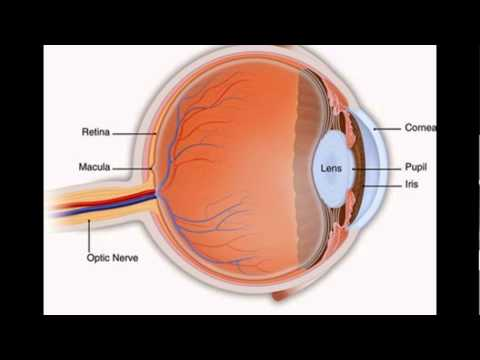 Function Of Pupil In Eye