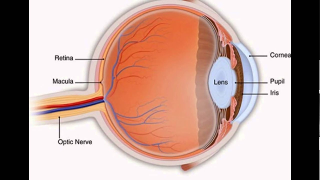 which part of the eye is a muscle that regulates the size of the ...