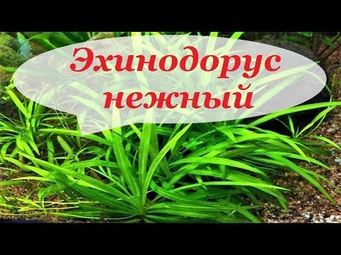 Эхинодорус нежный. Содержание и уход. Echinodorus tenellus. Аквариумные растения.