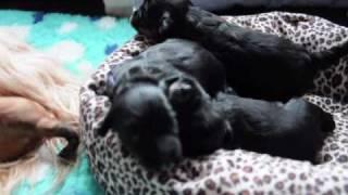 Tibetan Terrier Puppies 3 Weeks Old