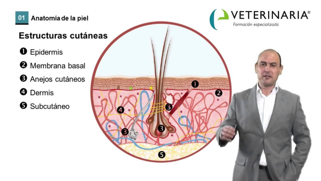 Dermatología veterinaria - Estructura, fisiología y funciones de la ...