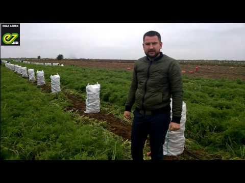 Уборка моркови Проминанс F1 от компании Такии Сидс