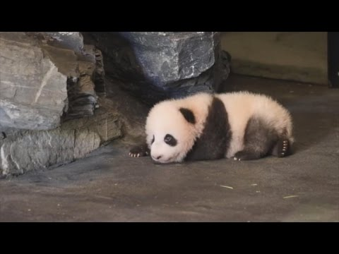 Watch This Baby Panda Wobble Trying to Take His First Steps