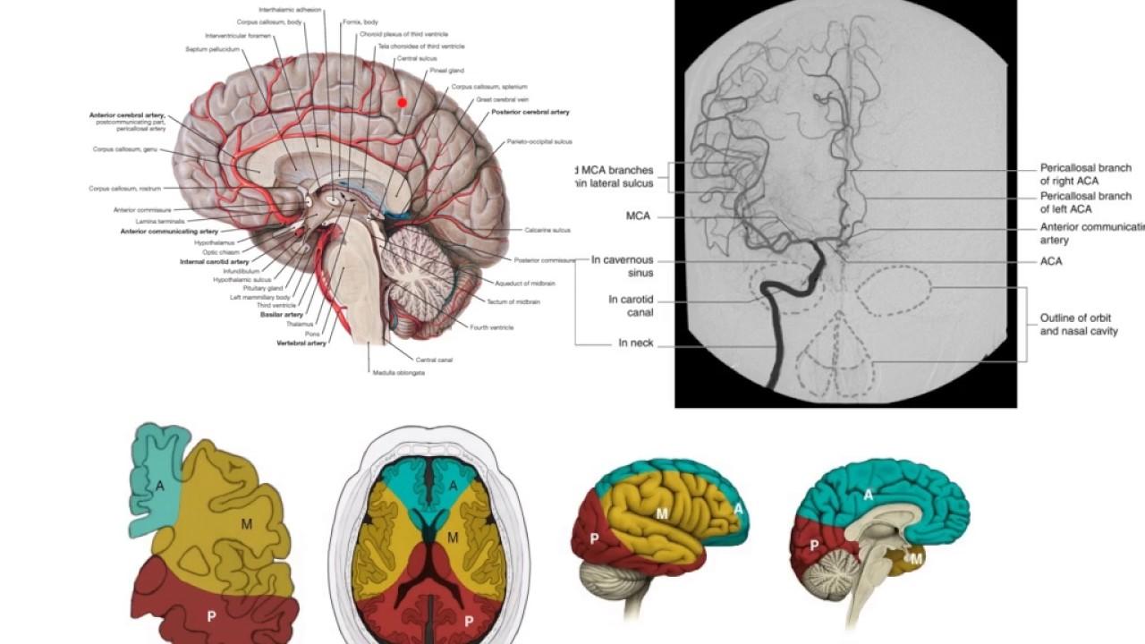 The anterior cerebral artery - YouTube