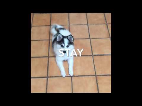Kleekimo puppy doing tricks - American Eskimo Dog and Alaskan Klee Kai mix