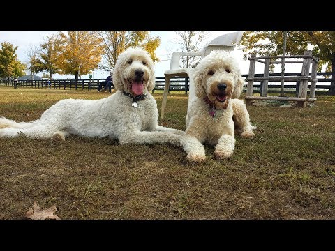 Goldendoodles : Life's An Adventure Video Compilation