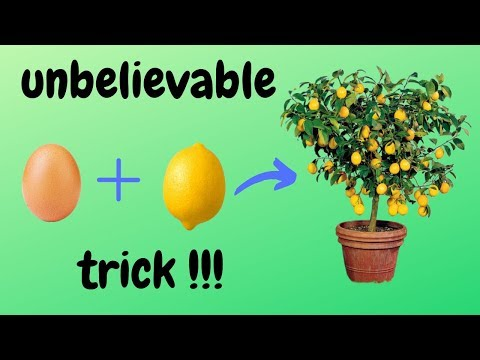 ☑️ how to grow lemon tree from seed 🍋 - unbelievable trick 🌳 - Easy Do