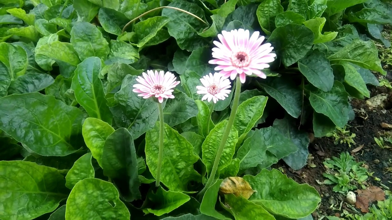Tanaman Hias Bunga Hebras Herbras Gerbera Jamessonii Warna Pink Pudar Ini Mirip Bunga Zinnia Youtube
