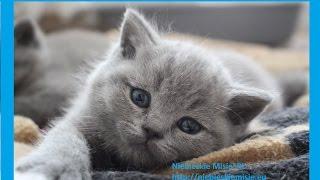 Koty brytyjskie niebieskie   Hodowla Niebieskie Misie*PL – na żywo 12.05.17