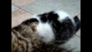 Вислоухие котята 2