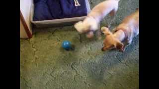 Dogs Babble Ball