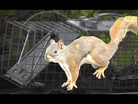 How To Catch A Squirrel Successfully Youtube