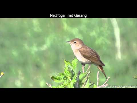 Nachtigall mit Gesang - Nightingale singing (1080p HD)