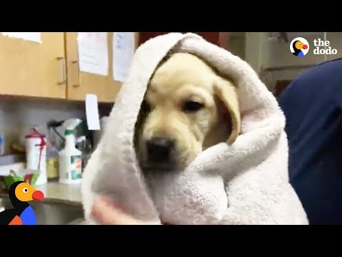 LIVE: Guide Dog Puppies FIRST Bath | The Dodo