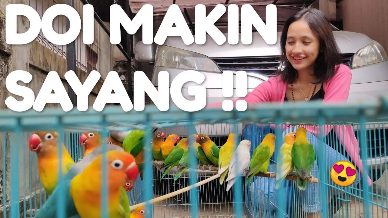 Ternak Lovebird Koloni Kandang Kecil - YouTube