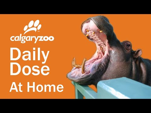 Your Daily Dose At Home: Hippos