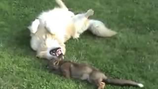 Любовь лисы и собаки