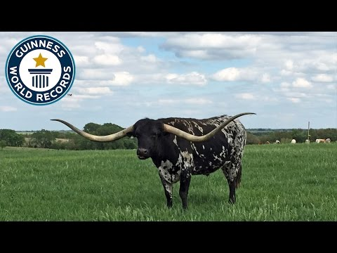 Largest Horn Spread On A Steer - Guinness World Records